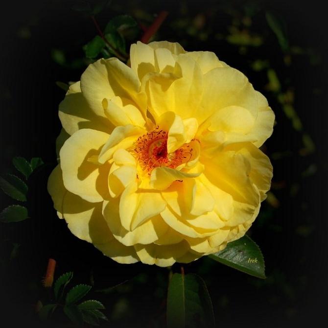 wspaniała róża