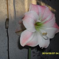 Amarylis 2  kwiatowy. Jest to juz czwarta celulka