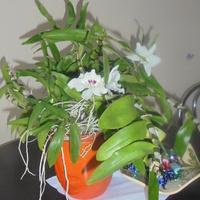 Dendrobium-odmiana storczyka.
