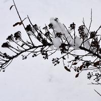 Gałązka krzewu na tle śniegu