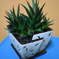Haworsja Limifolia.