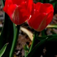 Kwiaty dla Walentynek