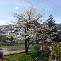Magnolia odłona druga