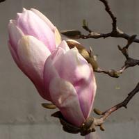 Magnolia różowo-biała