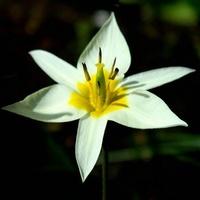 Najwcześniejszy z tulipanów:)