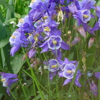 Niebieskie kwiaty łąkowe