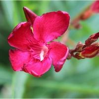 Oleander w czerwieni...