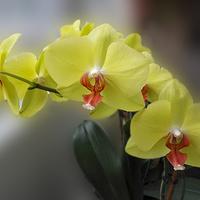 Orchidea.....
