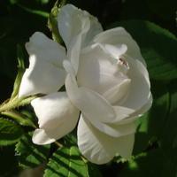 Róża, królowa kwiatów