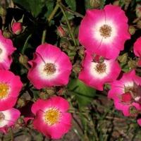 Róże piżmowe