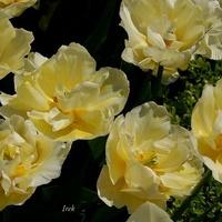Tulipan \