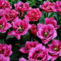 Tulipany \