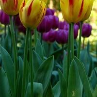 Tulipany różnokolorowe