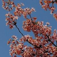 Wiśnia różowa