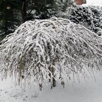 Wierzba Iwa W Zimowe