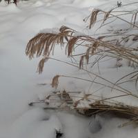 zebrina piękna nawet zimą