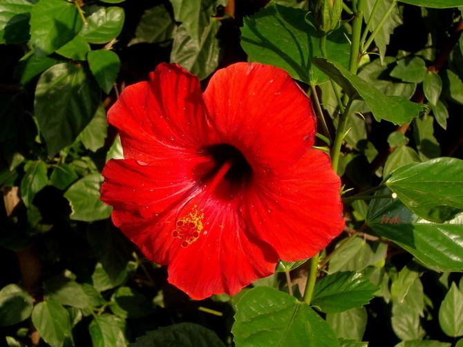 hibiskus czerwony