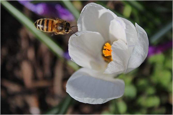 Krokusy bogate w pyłek...