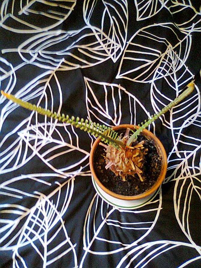 Nowe liście sagowca