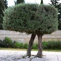 Drzewo o dwóch nogach.