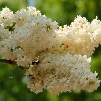 Kiedy znów zakwitną białe bzy?