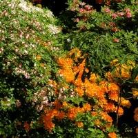 Kolorowe krzewy (c.d.)