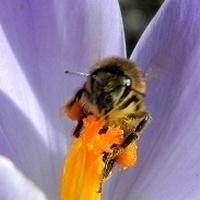 Krokusy, pszczółki i słońce:)