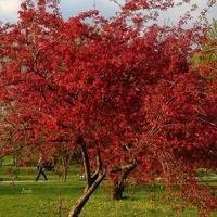 Kwitnące drzewo w parku