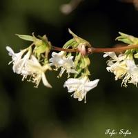 lonicera x purpusii - wiciokrzew zimowy