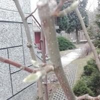 Na żółtej magnolii ...