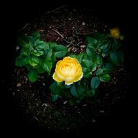 Żółta róża jak z kosmosu