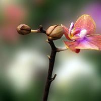 Orchidea...