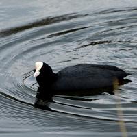 Pływająca łyska