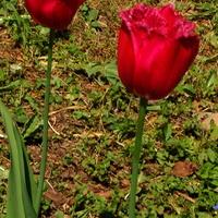 Para tulipanów