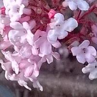 Przepięknie pachnący kwiatuszek kaliny wonnej .