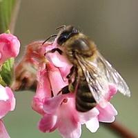 Pszczółka na kalinie...