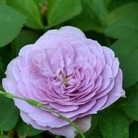 Róża w rzadkim kolorze