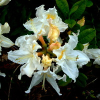 Rododendron, Azalia.