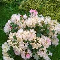Rododendron jakuszimański .