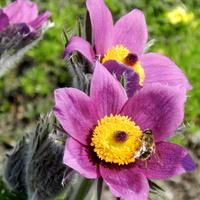 Sasanka-Obudziły się pszczółki
