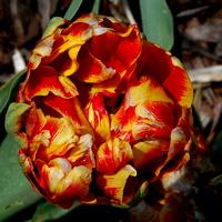 To też jest tulipan