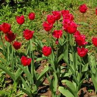 tulipany jednokolorowe