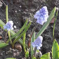 Wiosna na niebiesko