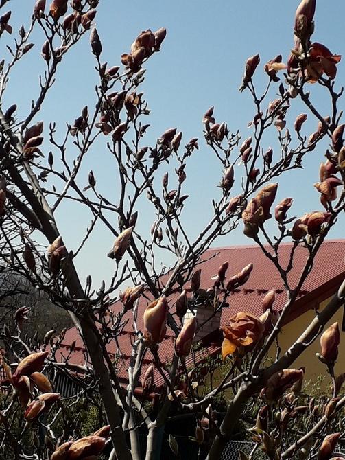 Już niekwitnąca magnolia...