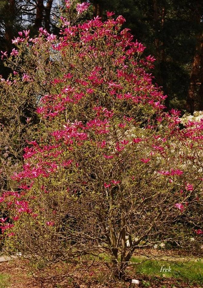 magnolia purpurowa.
