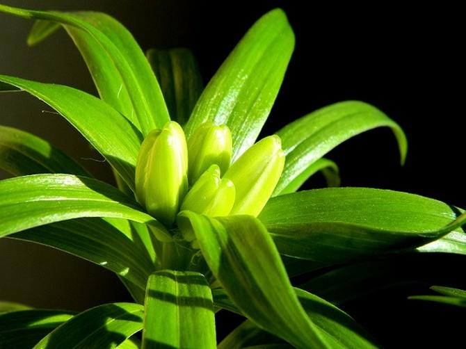Pierwsze pąki lilii:)