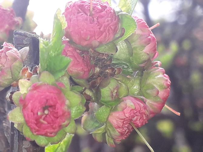 Różyczki w miniaturce - Migdałek;-)