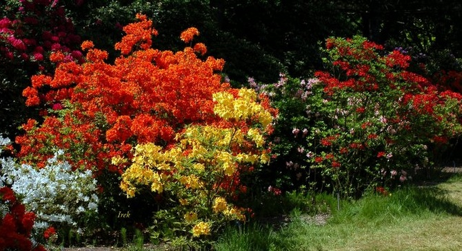 Rododendrony i azalie.