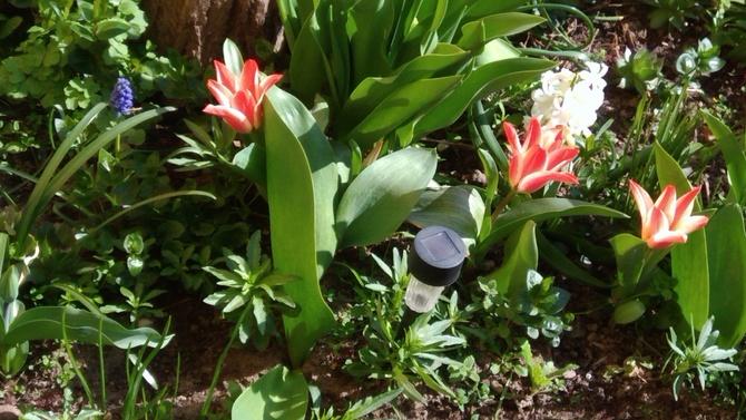 tulipanki*****