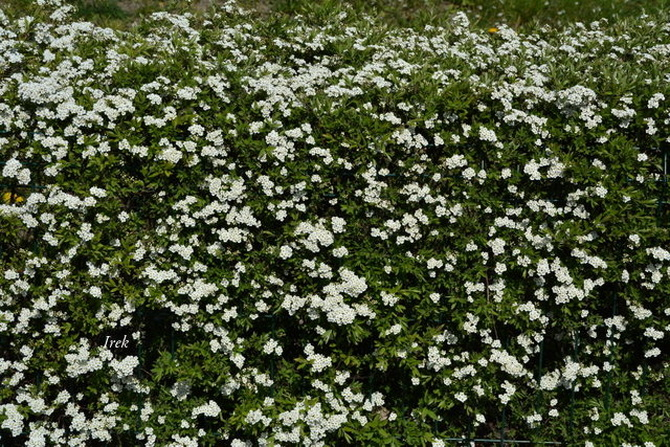 Żywopłot kwitnący na biało